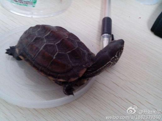 小乌龟外壳发白,而且全部裂开,壳表皮都在.