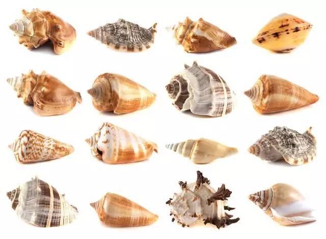 ▍多种腹足纲软体动物,它们都是右旋