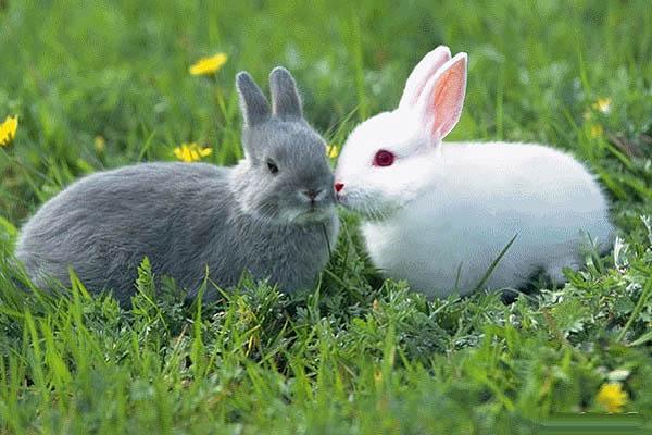 兔子眼睛的颜色与它们的皮毛颜色有关系.