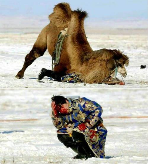 骆驼发情袭人