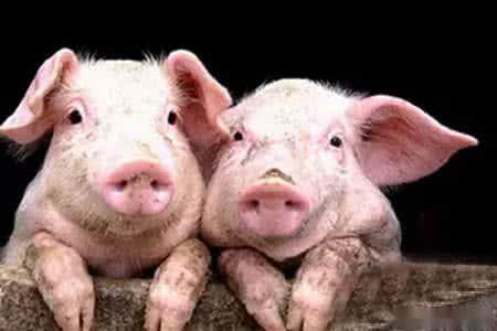 为什么回族都不吃猪肉?