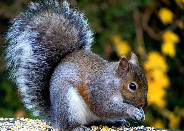 为什么松鼠的尾巴很大图片