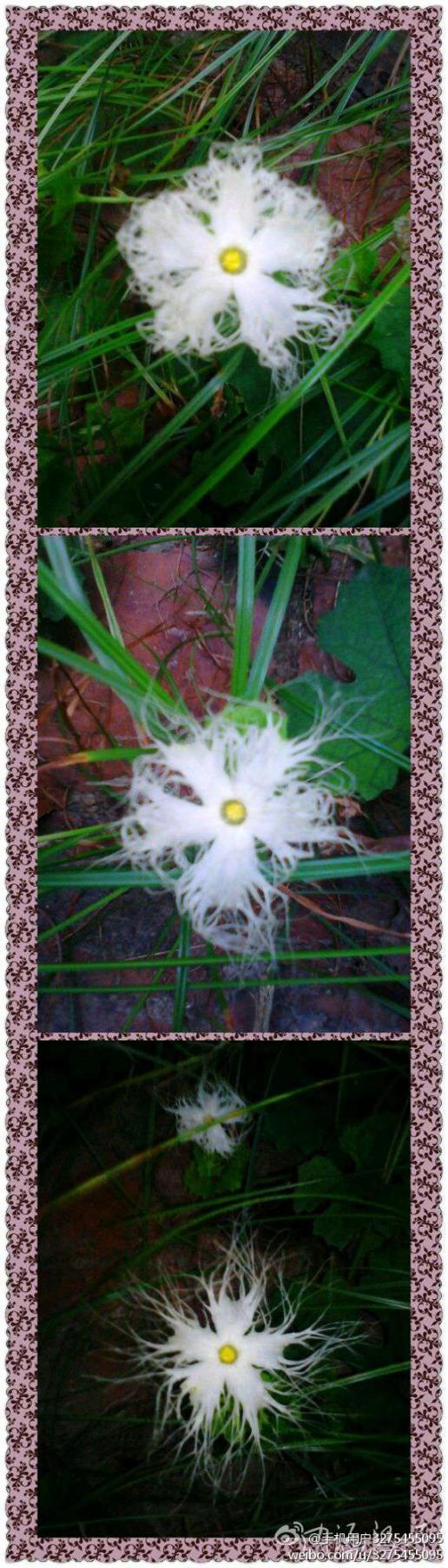 谁能告诉我这是什么花,我拍了3天,三张图演示它的开花