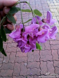 你见过紫色的槐<sp……