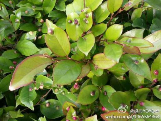 这是什么植物?叶子上长瘤?图片
