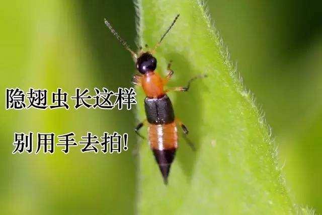 误信谣言竟自剁食指!隐翅虫的毒液到底有多厉害?