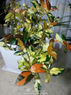 新买的植物,花店里说的名字忘记了,请教它是什么名字