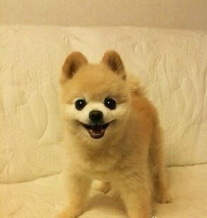 请教一下谁养过这几种微型犬茶杯狗?