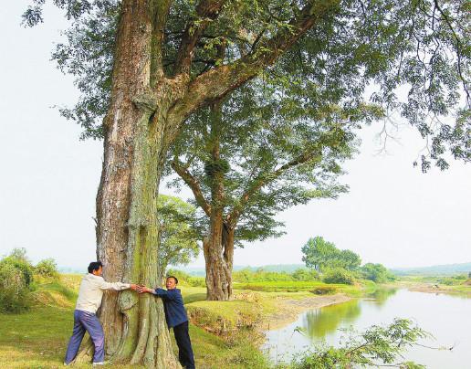 水檀树是黄檀树的一种, 生长缓慢,木质坚硬, 可以用来做家俬,或者整棵