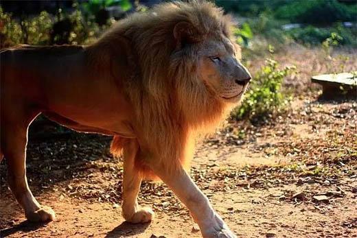 可爱的母狮子简笔画