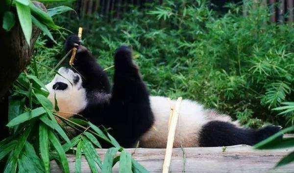 求抱抱:顽皮熊猫抱住饲养员不让离开
