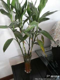 我家的竹子叶子最近老……