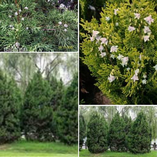 幼树树冠尖塔形,老树广圆形;树皮薄,淡灰褐色,条片状纵裂;  2柏科圆柏